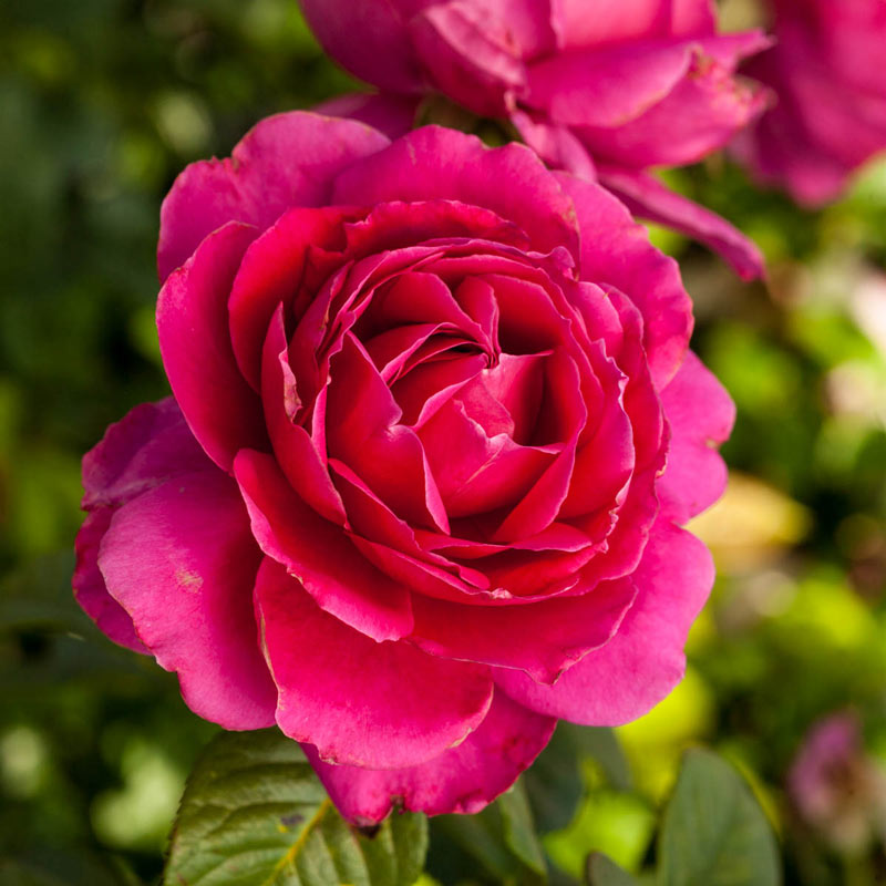 Pretty Lady Rose™ Hybrid Tea Rose