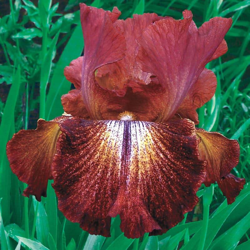 Paprika Fono's Reblooming Iris