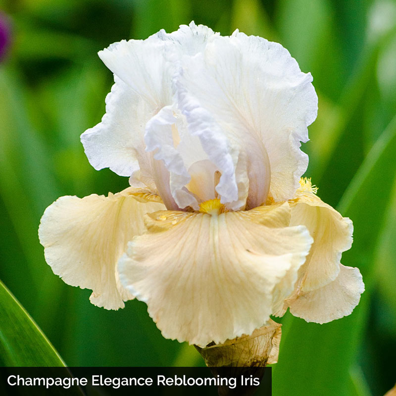 The Works Reblooming KickStart™ Iris