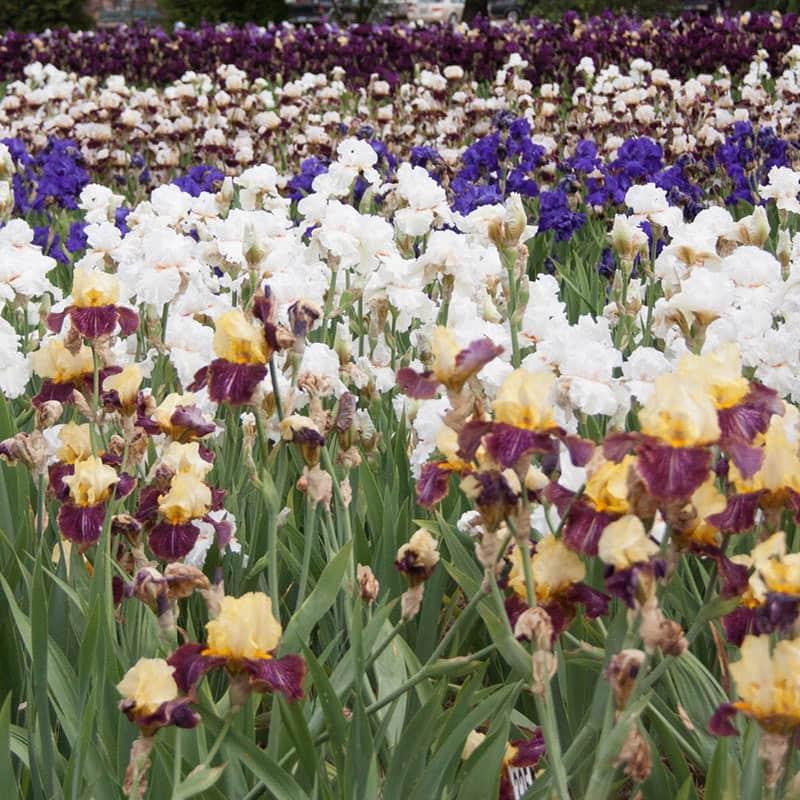 The Works Bearded Iris