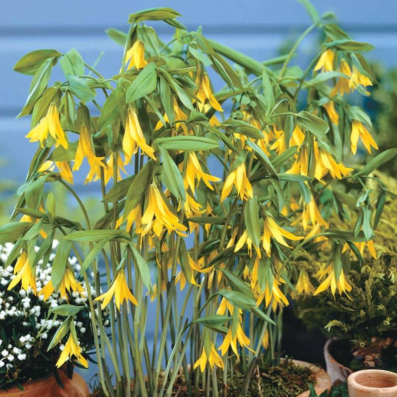 Native Yellow Bellflower