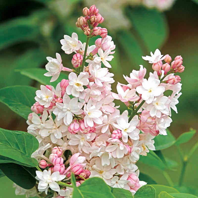 Beauty of Moscow Lilac Shrub