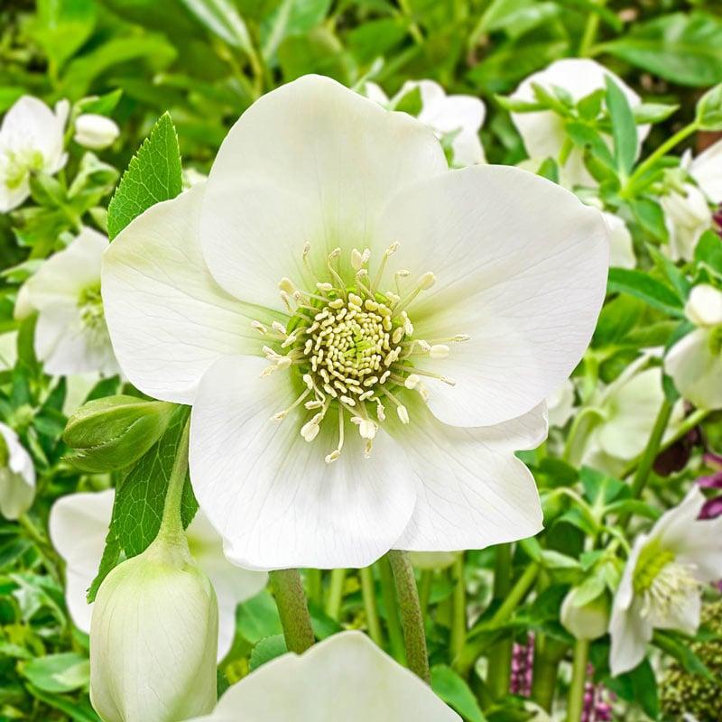 King Double White Lenten Rose