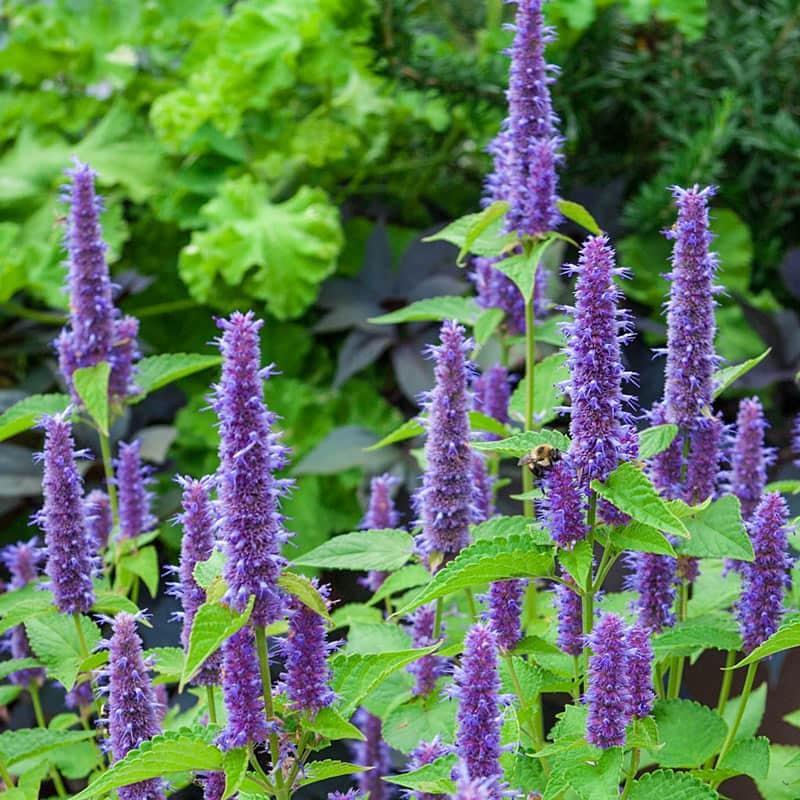 Lavender Hyssop
