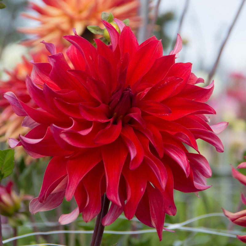 Red Labyrinth Dahlia