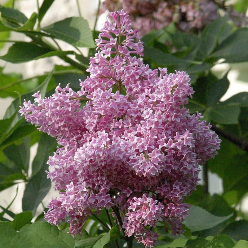 James Macfarlane Lilac Hedge