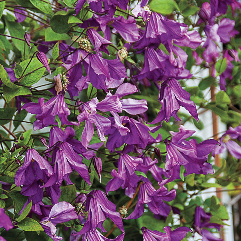 Clematis Memory of the Heart