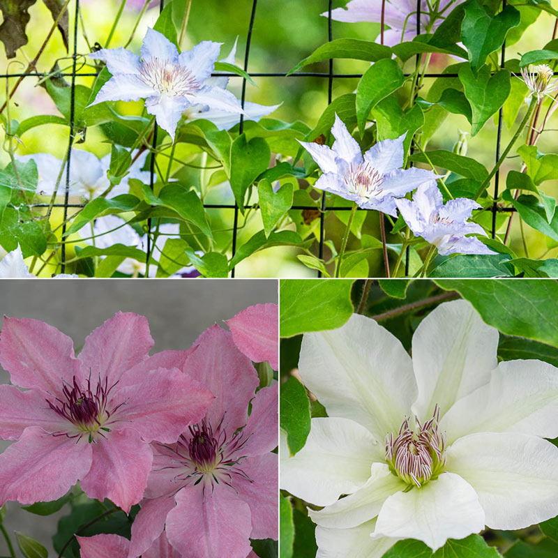 Perfect for Patio Clematis Collection