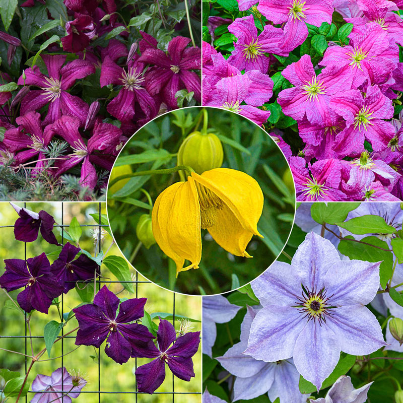 Wall of Flowers Clematis Collection