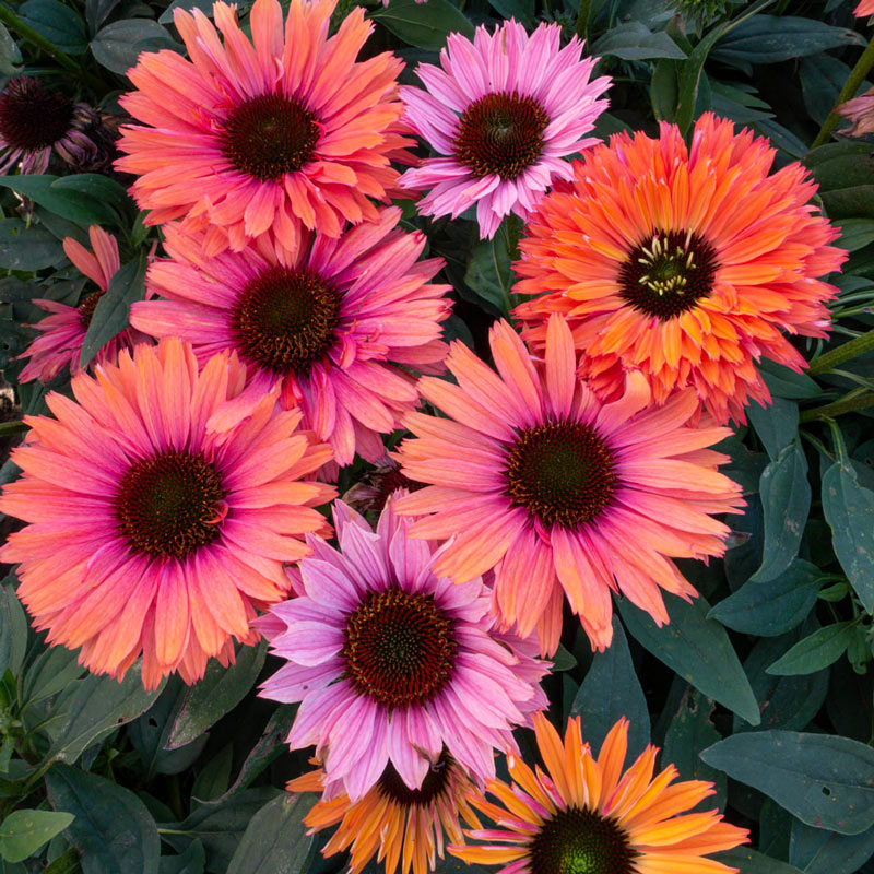 Sunseekers Rainbow Coneflower