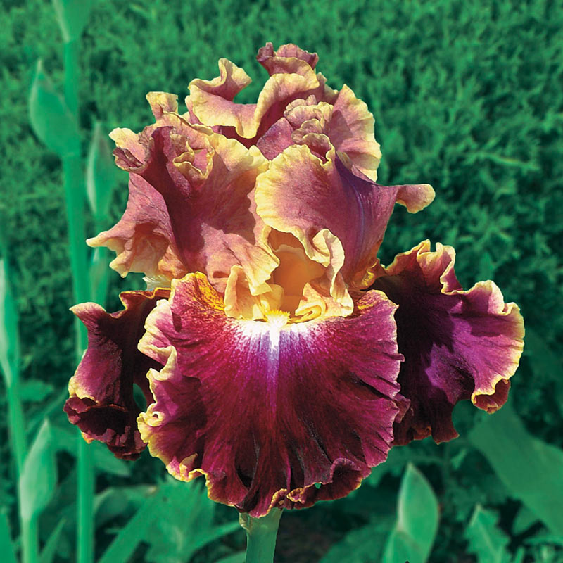 Montmartre Reblooming Iris