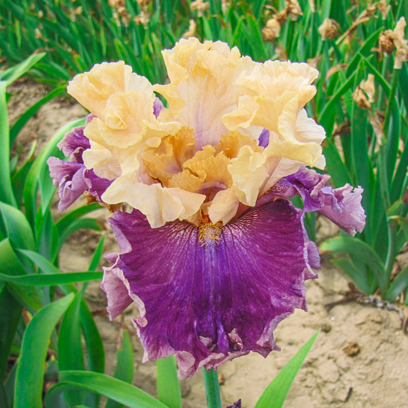Roaring Twenties Reblooming Iris