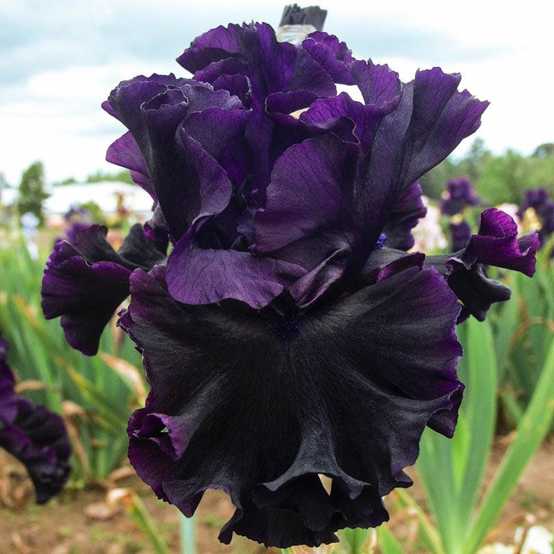Black Lipstick Bearded Iris