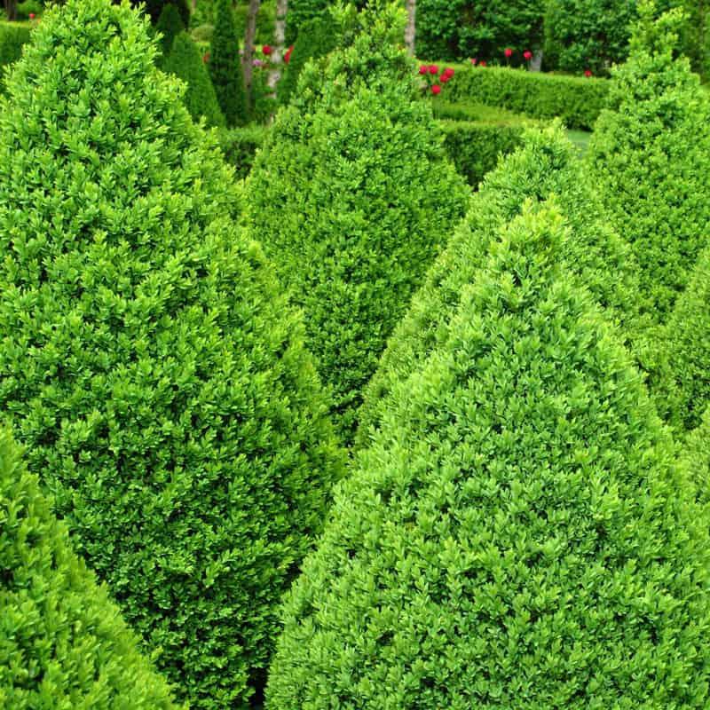 Boxwood Green Mountain Hedge
