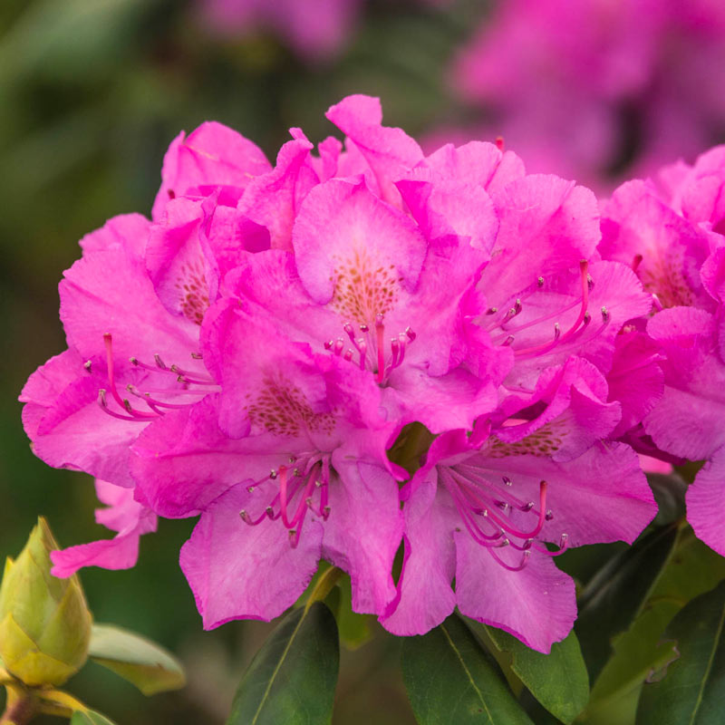 English Roseum Rhododendron