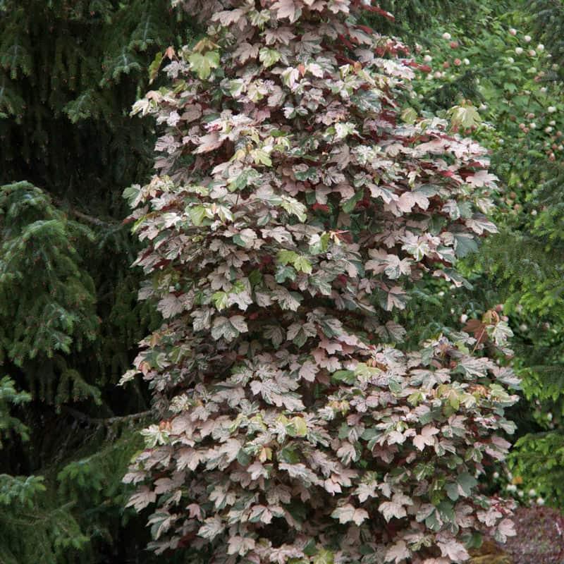 Esk Sunset Japanese Maple Tree