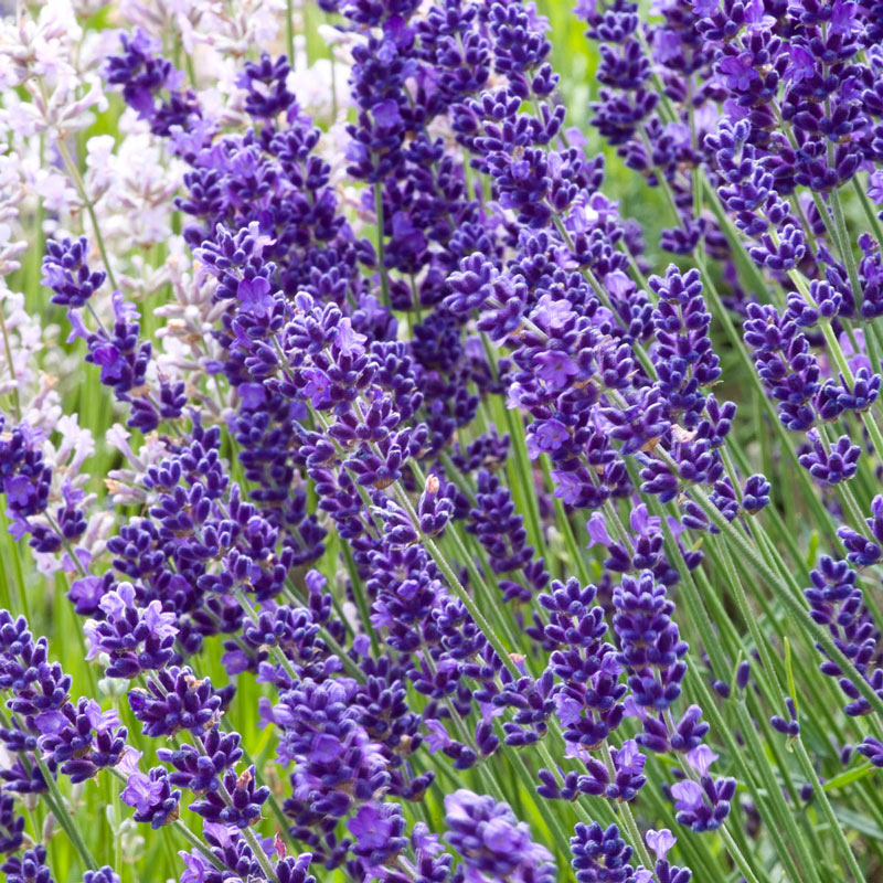 Imperial Gem Lavender