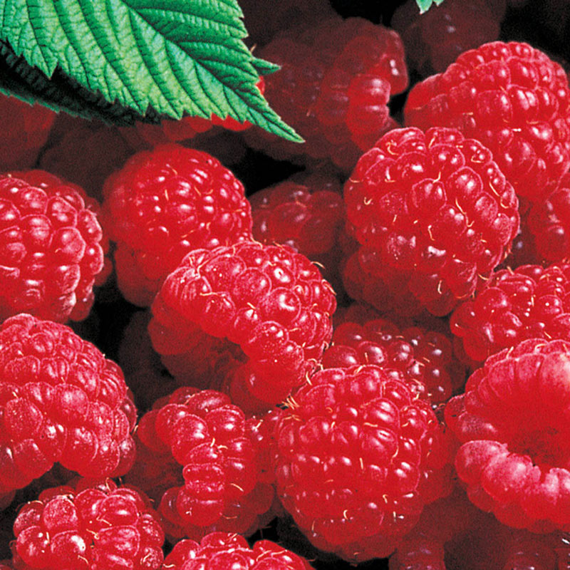 Red Latham Raspberry