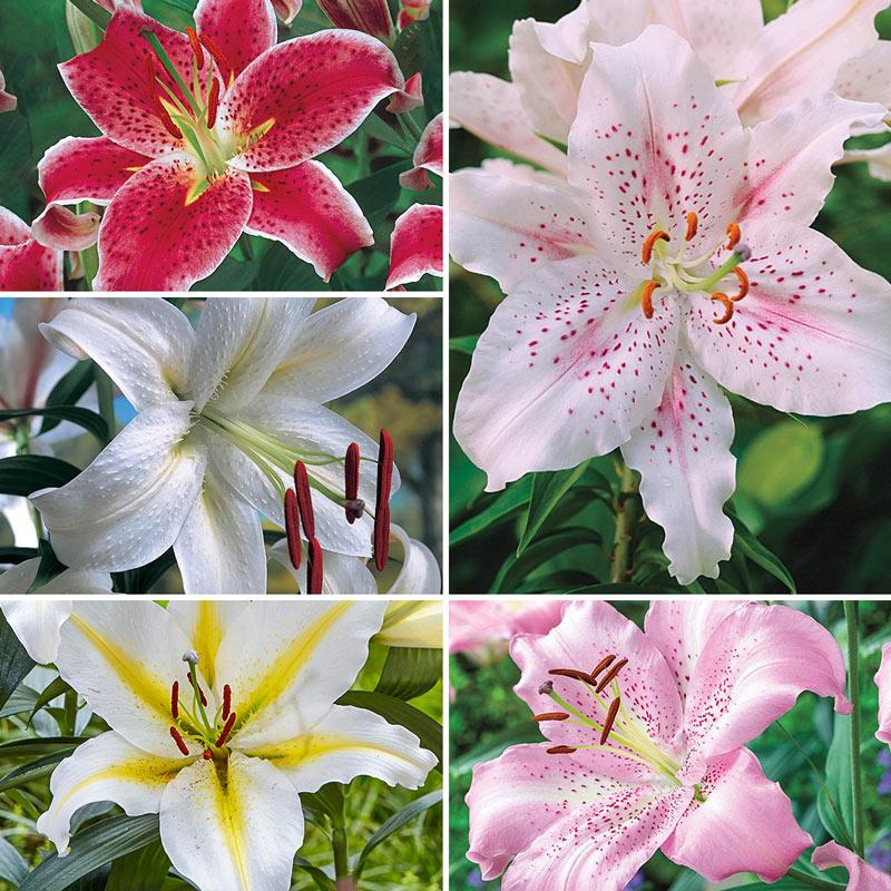 Parfum De Bloom™ Fragrant Lily Collection