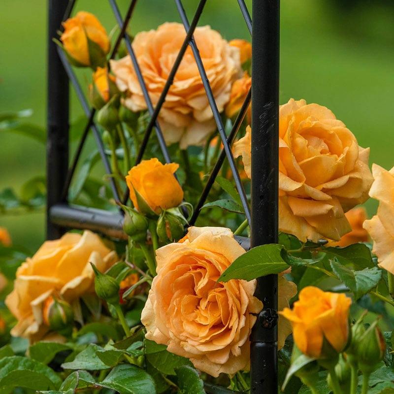 Golden Opportunity™ Climbing Rose