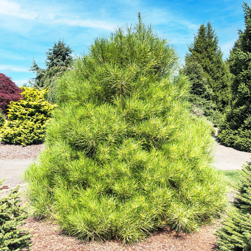 Golden Ghost Japanese Red Pine
