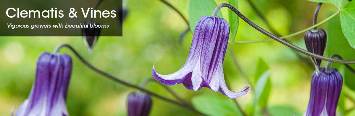 SpringHill Clematis & Vines