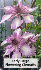Early Large Flowering Clematis