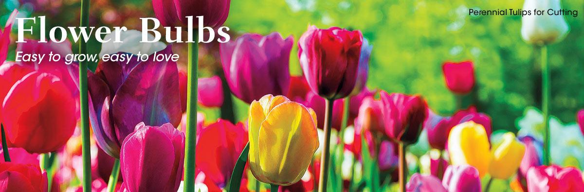 SpringHill Bulbs