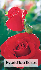 Hybrid Tea Roses