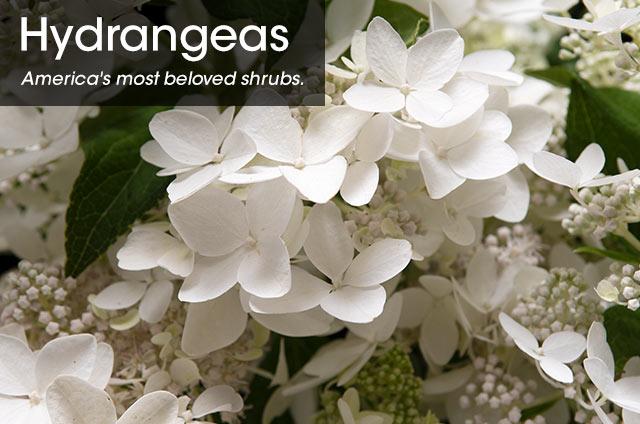 =SpringHill Hedges