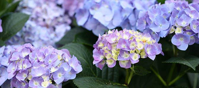 SpringHill Hydrangeas