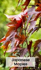 JapaneseMaples