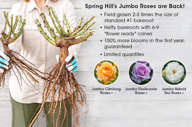 SpringHill Jumbo Roses