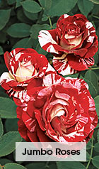 Jumbo Roses