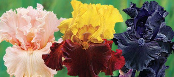 SpringHill New KickStart™ Iris