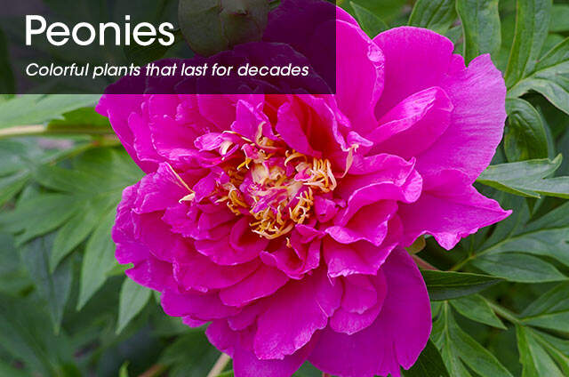 =SpringHill Peonies