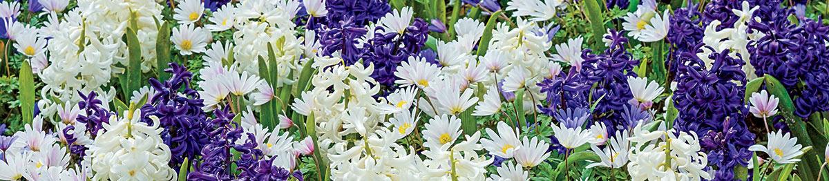 SpringHill Flower Bulbs