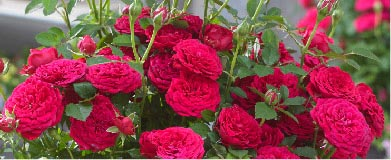 SpringHill Roses