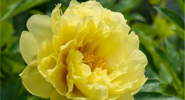 SpringHill Peonies