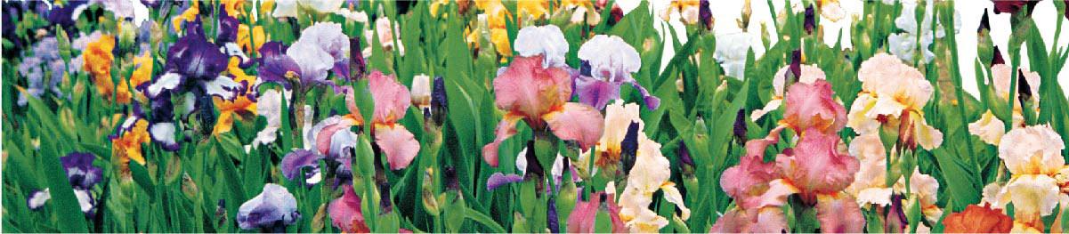SpringHill Iris