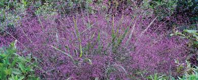 SpringHill Grasses