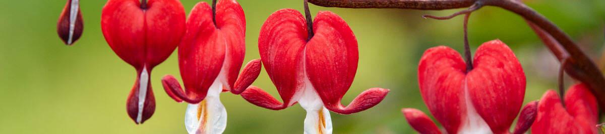 SpringHill  Shade Perennials</sup>