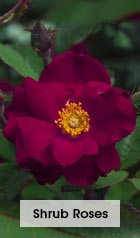 Shrub Roses