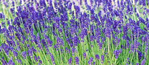 SpringHill Sun Perennials