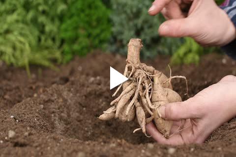 Dahlia - Planting
