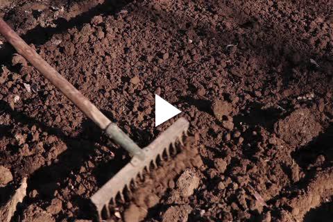 Hardy Bulbs Crocus - Site Prep