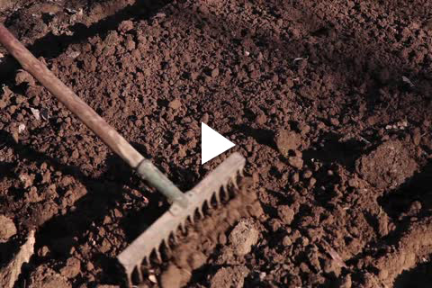 Hardy Bulbs Hyacinth - Site Prep