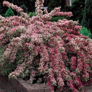 Varigated Weigela