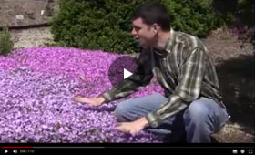 How to Grow and Care for Phlox Video