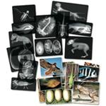 Animal X-Rays